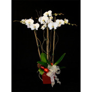 Festive Orchid Planter