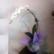 Hawaiian Orchid Plant