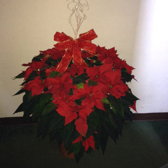 Extravagant Red Poinsettia Plant