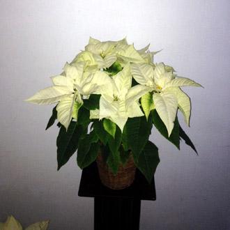 Elegant White Poinsettia Plant