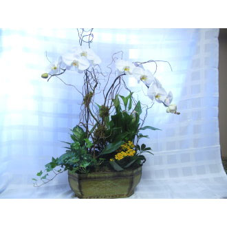 Orchid Grandeur