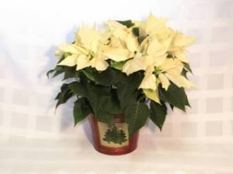 White Poinsettia in Tin