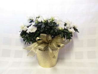 White Azalea Planter