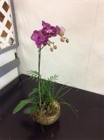 EFG228 Phalaenopsis Orchid Garden