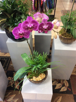 EFG231 Phalaenopsis Orchid Garden