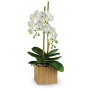 PHALENOPSIS ORCHID PLANT DOUBLE STEM