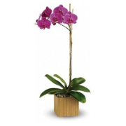 PHALENOPSIS SINGLE STEM ORCHID PLANT