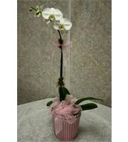 Joyful Baby Girl Orchid