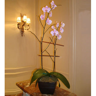 Double Stalk Phalaeonopsis Orchid