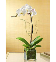 White Phalaeonopsis Orchid