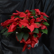 Red Poinsettia - 10