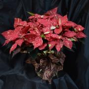 Red Glitter Poinsettia - 8