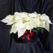 Snowcap Poinsettia - 8