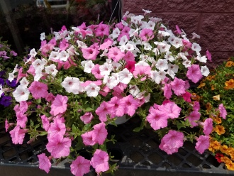 Annual Hanging Basket
