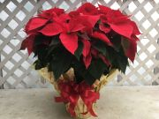 Sale Poinsettia LARGE 14-22 blooms