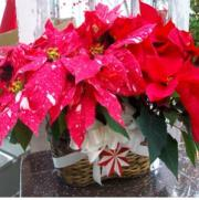 Poinsettia Double basket w/ ornament and holiday accents