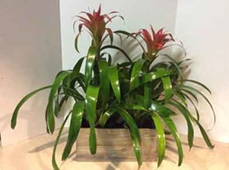 Dueling Bromeliads in Grey Whitewash Wooden Box
