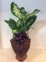Petite Diffenbachia Plant