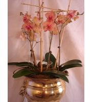 Phalaenopsis (Moth) Orchid