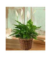 Spathiphyllum, Peace Lily in Basket