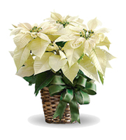 Flowers By Bauers White Poinsettia