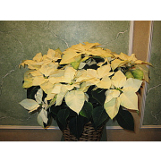 Large Poinsettia