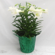 EasterLily