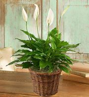 Spathiphyllum Floor Plant for Sympathy