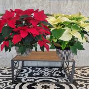 Red Poinsettia Basket ( Medium) by Sunnyslope