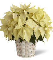 WHITE POINSETTIA PLANT (LARGE) IN A BASKET