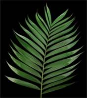 Palm For Palm Sunday on March 25, 2018