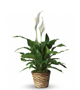 Peace Lily - An Easy Care Plant