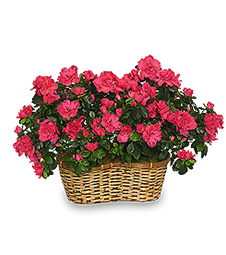 Azalea plant in basket for delivery today to funeral, hospital, or home in Grand Rapids, Sunnyslope Floral