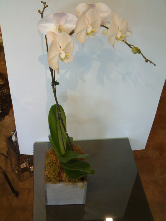 ORCHID PLANT 6\