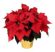 Renning's Flowers Large Poinsettia