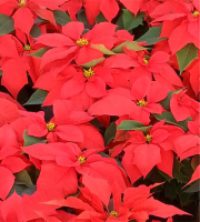 BULK - 6in Red Poinsettias