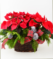 Pretty Poinsettia Planter
