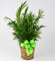 Palm, 6