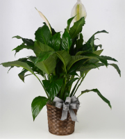 8in Peace Lily