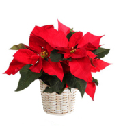 6in Poinsettia - Decorated