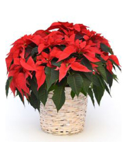 10in Poinsettia - Decorated