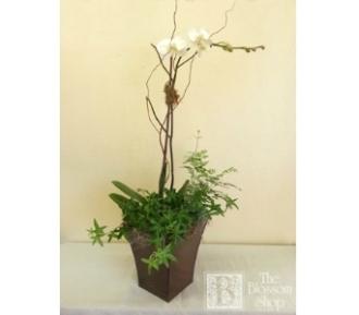 Phaleanopsis European Garden