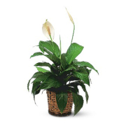 Small Spathiphyllum Plant