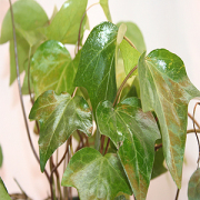 Algerian Ivy