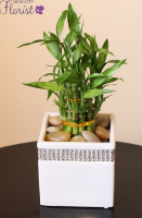 White Ceramic Lucky Bamboo