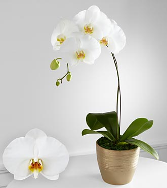 Graceful  Phalaenopsis Orchid