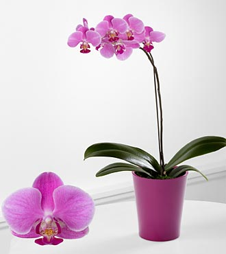 Discovery Phalaenopsis Orchid