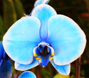 Light Blue Orchid Plant