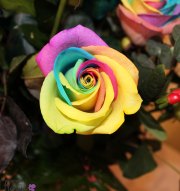 1 Dozen Rainbow Roses