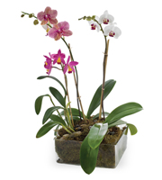 Blooming Orchid Plants